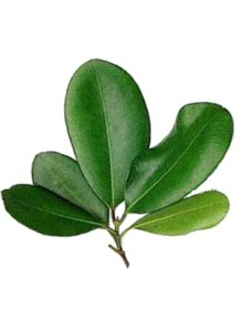 bay leaf oil, Bay West Indies Oil