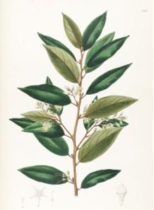 styrax resinoid