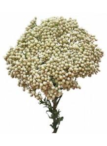 Rice Flower & Shea