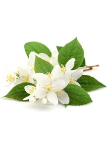 Jasmine (Jasminum officinale) Fragrance Oil