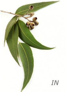 eucalyptus globulus oil (India)