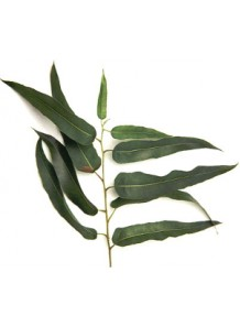 eucalyptus citriodora oil