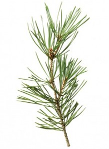 pine needle oil (scotch, pinus sylvestris)