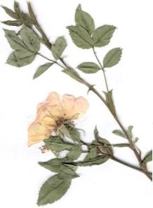 bois de rose oil brazil