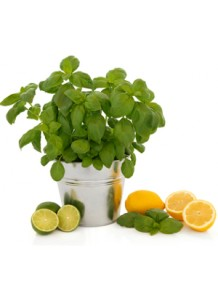 Cool Citrus Basil (Bath and Body Works)